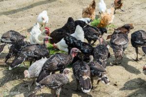 I polli e tacchini